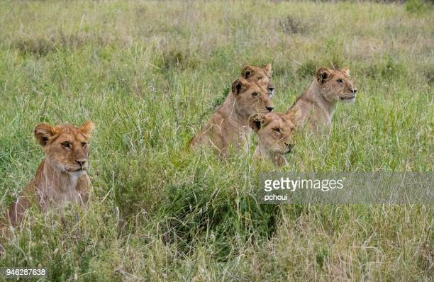 Group of young lions, Africa