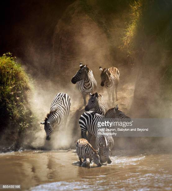 Group of Zebras Crossing Mara River During Migration