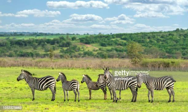 group of zebras in akagera national park, rwanda - rwanda stock pictures, royalty-free photos & images