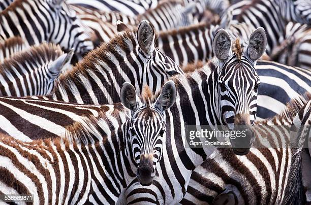 a group of zebras (equus quagga) in kenyas masai mara. - zebra stock pictures, royalty-free photos & images