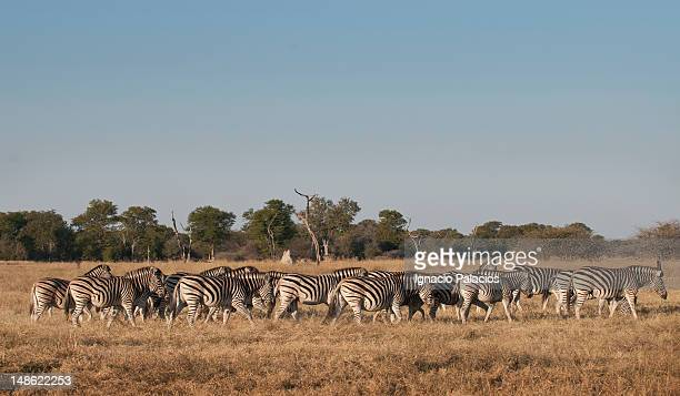 Group of zebras in the Okavango Delta