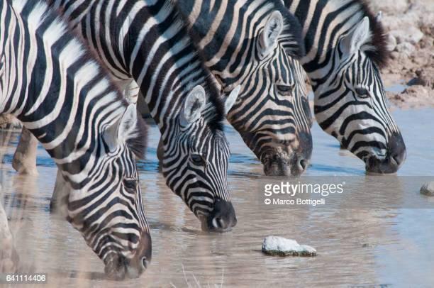 Group of zebras in the savannah. Etosha National Park, Namibia.