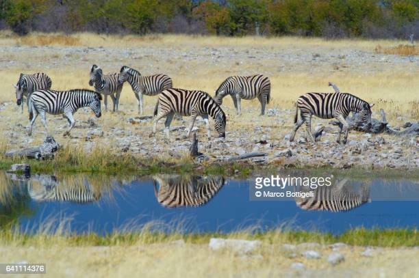 Group of zebras in the savannah. Etosha National Park, Namibia, Southern Africa.