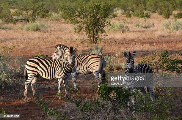 group of zebras South Africa
