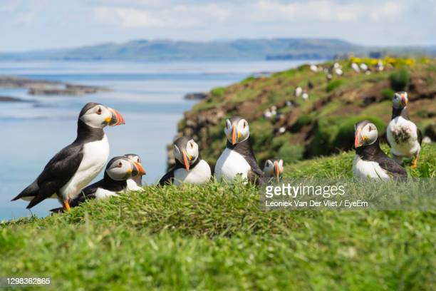 group or family atlantic puffins, common puffin, seabirds in auk family, on treshnish isles scotland - scotland stock pictures, royalty-free photos & images