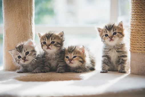 Group persian kittens sitting on cat tower 927401846