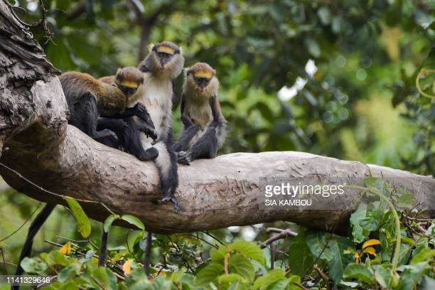 Group sacred monkeys stand on the branch of a tree in the forest at in the village of Soko, 7 km from Bondoudou, Ivory Coast, on January 20, 2019.
