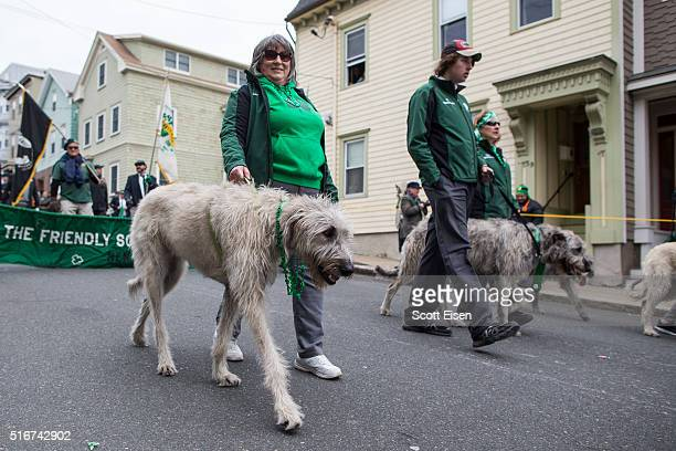A group walking Irish Wolfhounds during the annual South Boston St Patrick's Parade passes on March 20 2016 in Boston Massachusetts According to...