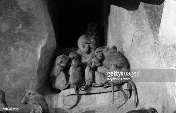 Groupe de babouins blottis sur un rocher du zoo de Vincennes pour se protéger des premiers froids à Paris France en novembre 1966