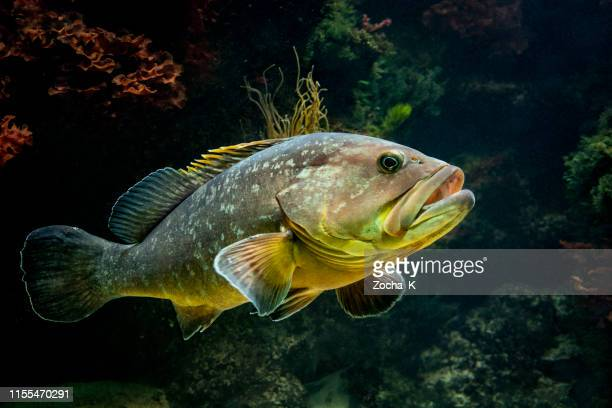 grouper at entrance to cave - grouper stock pictures, royalty-free photos & images
