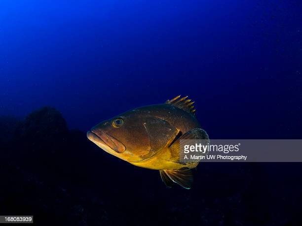Grouper in the deep blue