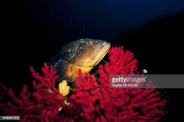 Grouper in the Lavezzi marine reserve