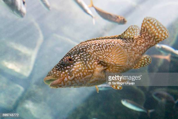 grouper - grouper stock pictures, royalty-free photos & images