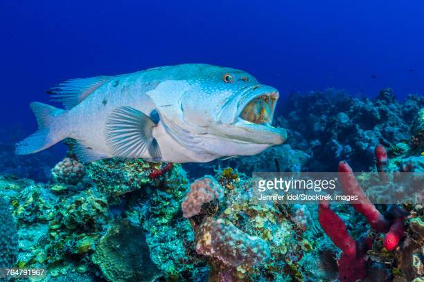 A grouper waits while a wrasse cleans the inside of its mouth in Grand Cayman, Cayman Islands.