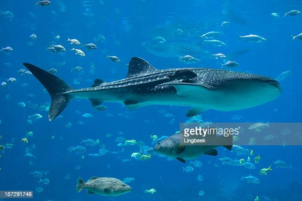 groupers, whale sharks and lots of fish - whale shark stock pictures, royalty-free photos & images