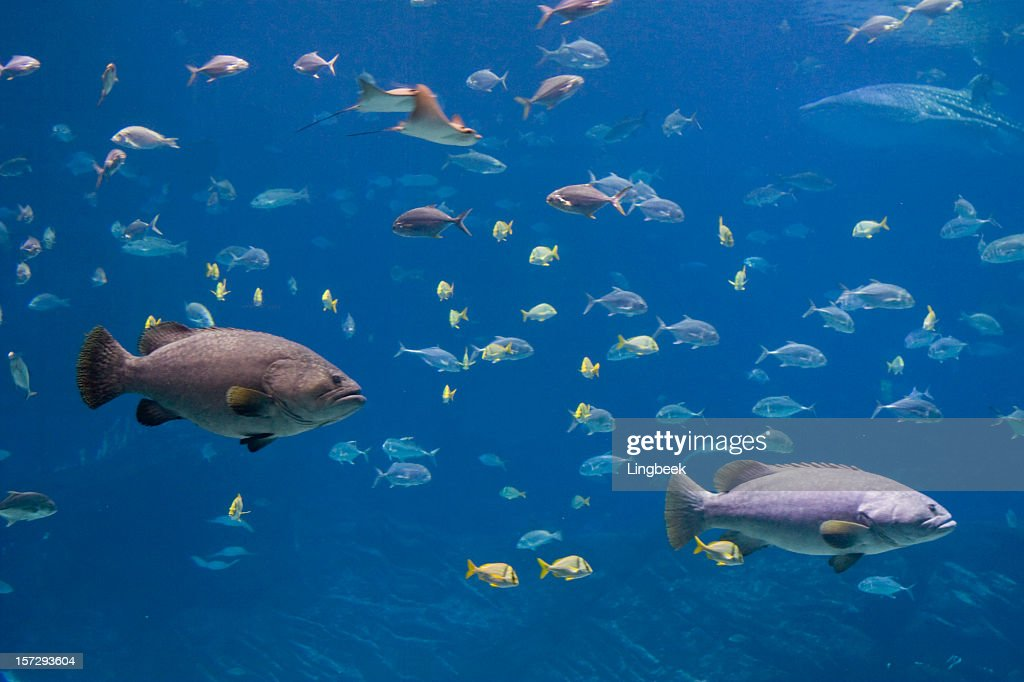 Groupers whale sharks and lots of fish stock photo getty for Lots of fish