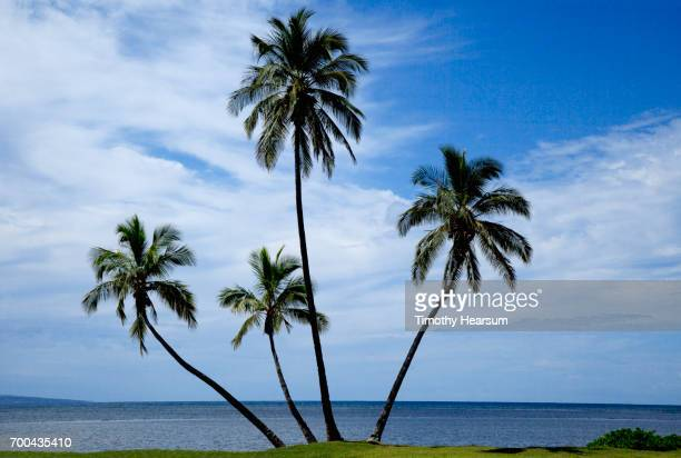 grouping of four palm trees on the shore; ocean, blue sky with clouds beyond - timothy hearsum imagens e fotografias de stock