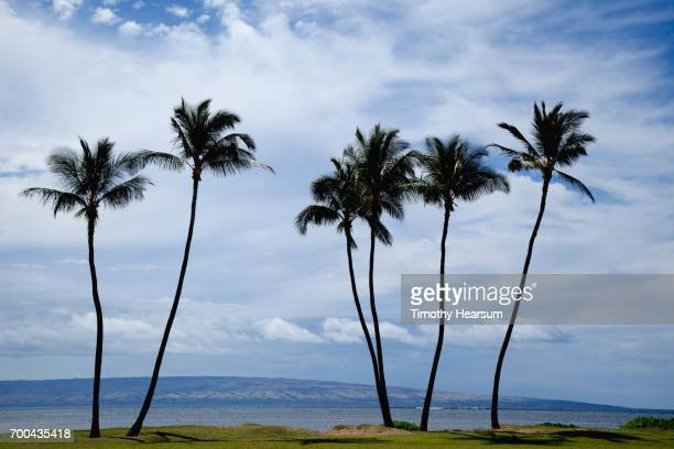 grouping of six palm trees on the shore; ocean and island of oahu in the distance - timothy hearsum stock photos and pictures