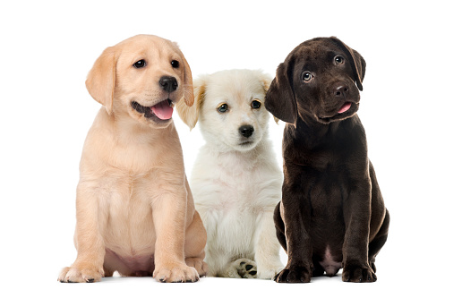 Groups of dogs, Labrador puppies, Puppy chocolate Labrador Retriever, in front of white background 1069531070