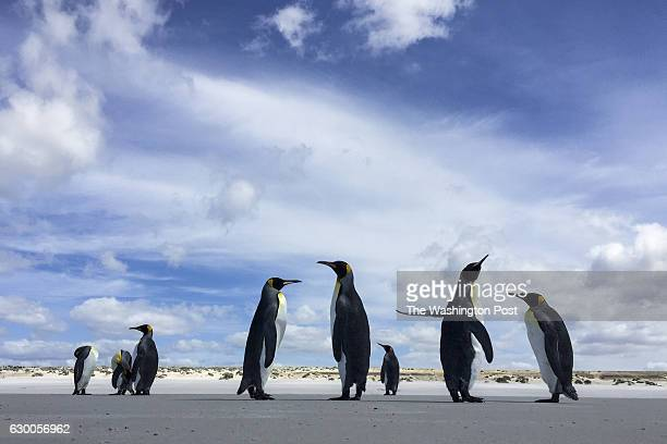Groups of King penguins hang out on the beach on Friday February 12 on Volunteer Point Falkland Islands King penguins are the largest of the...