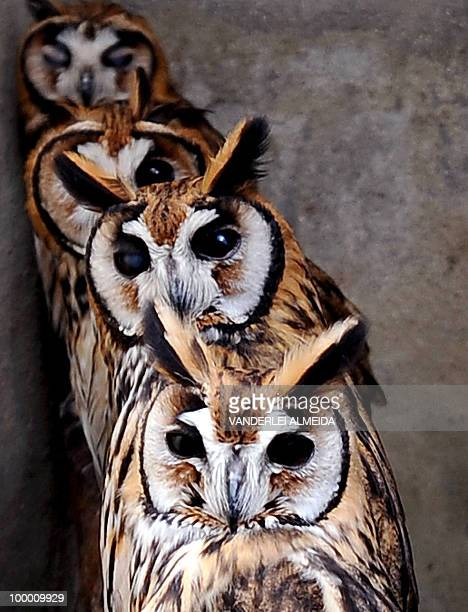 A groups of striped owls are seen at the Animal Hospital at the Niteroi Zoo some 25 kms north of Rio de Janeiro Brazil on August 5 2009 Injured...