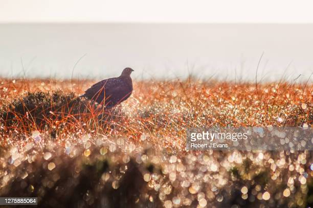 grouse on the moors in the morning sun. - south yorkshire stock pictures, royalty-free photos & images