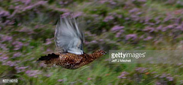 Grouse rises from the heather on the Railia and Milton Estate on Drumochter moor, on August 8, 2008 near Dalwhinnie in Scotland. As the glorious 12th...