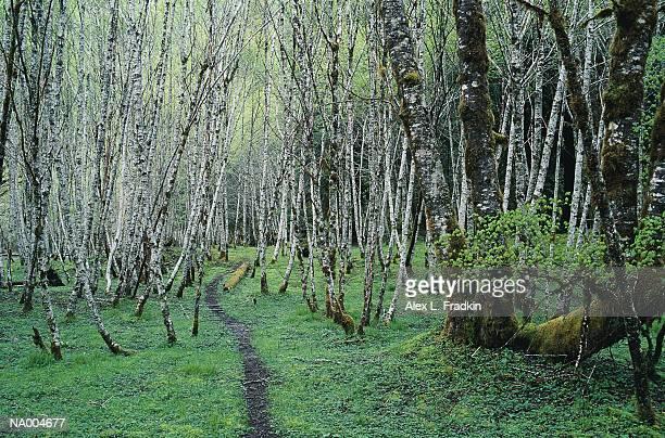 Grove of alders (Alnus sp.)