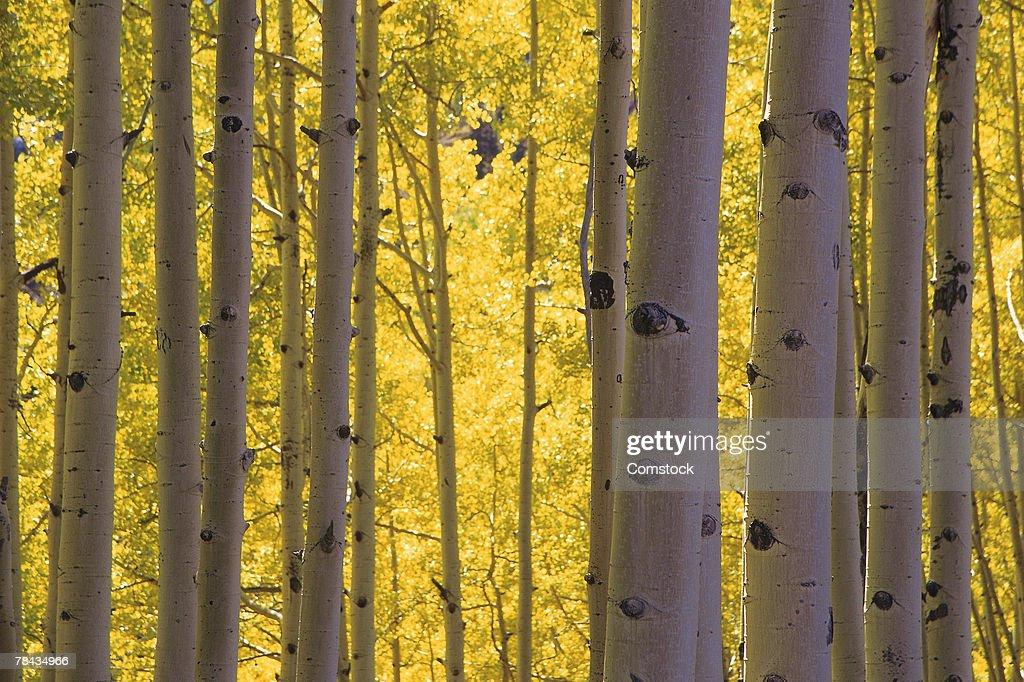 Grove of aspen trees or birch trees : Stockfoto