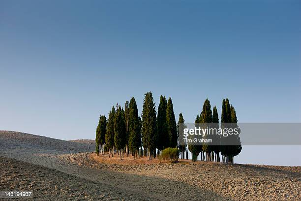 Grove of cypress trees in landscape by San Quirico D'Orcia in Val D'Orcia Tuscany Italy