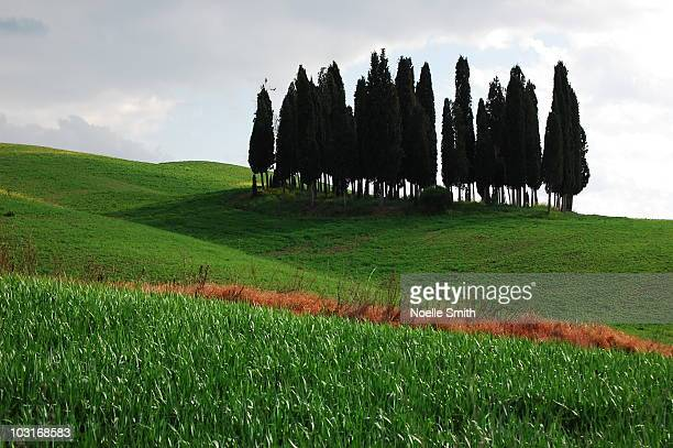 Grove of cypress trees