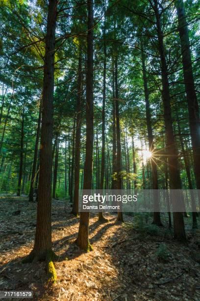 grove of eastern hemlock (tsuga canadensis), madbury, new hampshire, usa - hemlock tree stock pictures, royalty-free photos & images