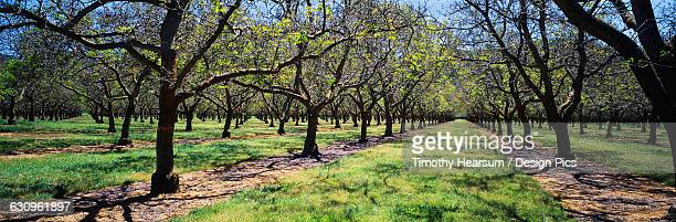 grove of mature walnut trees just leafing out in early spring, near bowie - timothy hearsum stock pictures, royalty-free photos & images