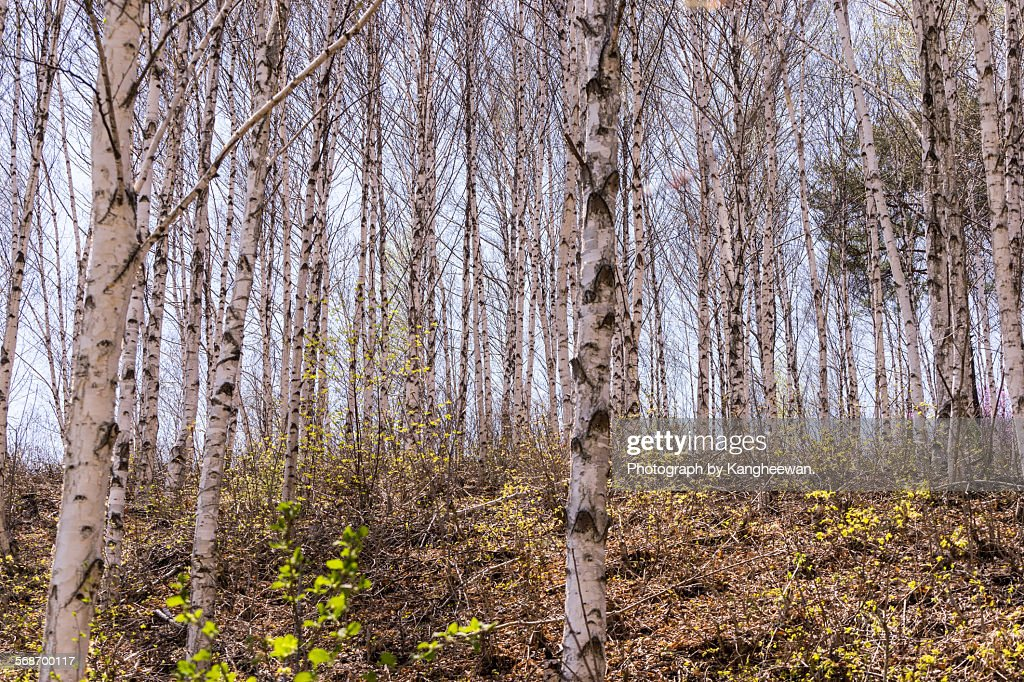 Grove of white birch trees : Stock Photo