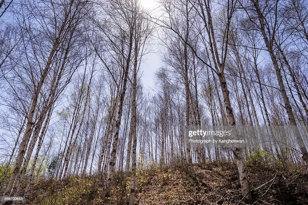 Grove of white birch trees : Stock Photo
