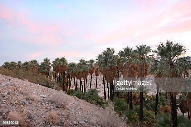 Groves of native palm trees dot the southern San Andreas earthquake fault which forces water to the surface forming a string of desert oases in...