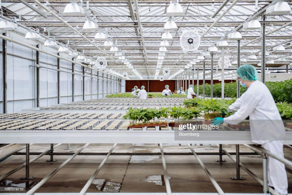 Inside The CannTrust Holdings Cannabis Production Facility Ahead Of Marijuana Legalization : News Photo