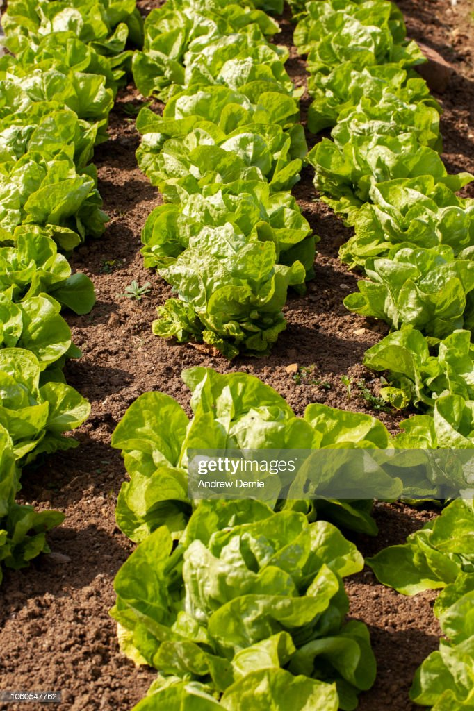 Grow you own Lettuce : Stock Photo