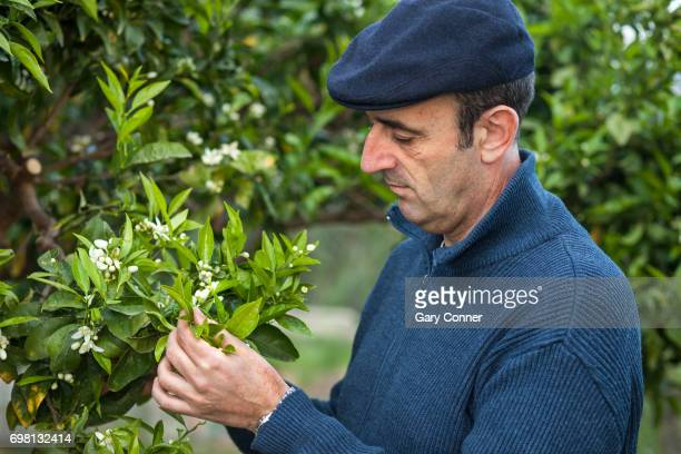 Grower checks orange blossoms for parasites