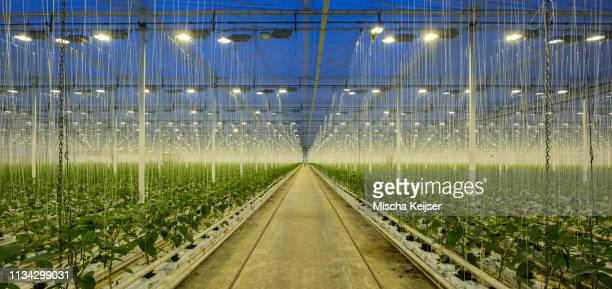 growing bell peppers in modern dutch greenhouse, zevenbergen, noord-brabant, netherlands - vertical stock pictures, royalty-free photos & images