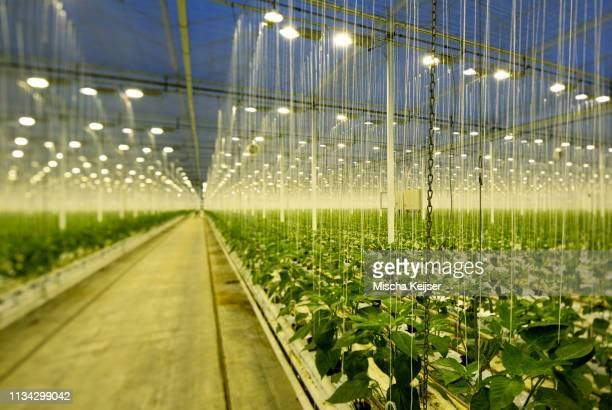 growing bell peppers in modern dutch greenhouse, zevenbergen, noord-brabant, netherlands - agriculture stock pictures, royalty-free photos & images