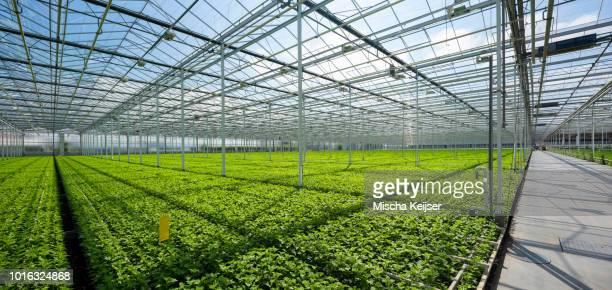Growing chrysanthemums in modern Dutch greenhouse, Maasdijk, Zuid-Holland, Netherlands