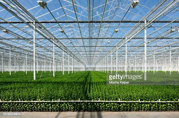 growing chrysanthemums in modern dutch greenhouse, maasdijk, zuid-holland, netherlands - gewächshäuser stock-fotos und bilder