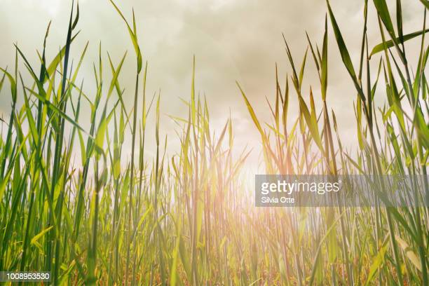 Growing corn plant on field with sun setting