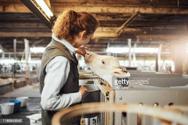 growing cows need quality grain - young animal stock pictures, royalty-free photos & images