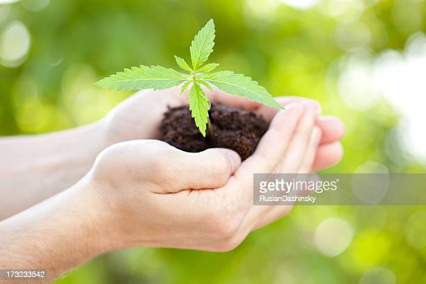 Growing crop in human hands.