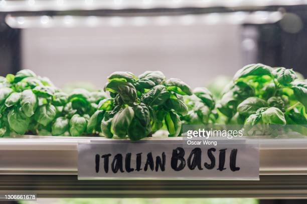 growing fresh basil indoors with science and technology - hope stock pictures, royalty-free photos & images
