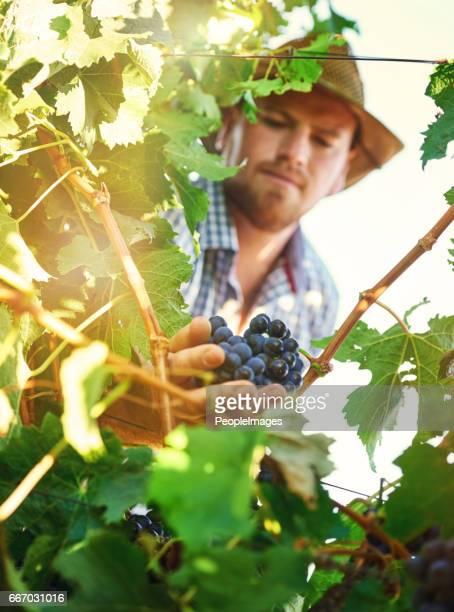 Verbouwen van druiven kunnen een lonende onderneming voor uw bedrijf