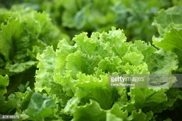growing lettuce - lettuce stock pictures, royalty-free photos & images