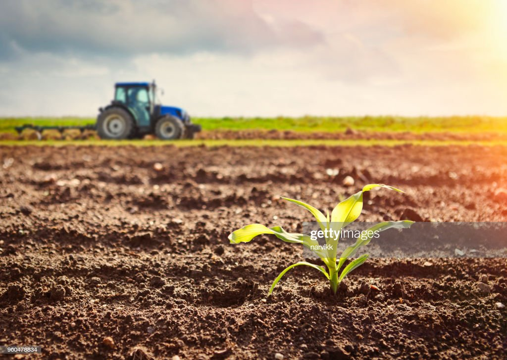Growing maize crop and tractor working on the field : Stock Photo